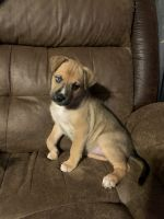 Boxer Puppies for sale in Weatherford, TX, USA. price: NA