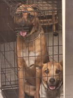 Boxer Puppies for sale in Houston, TX, USA. price: NA