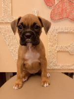 Boxer Puppies for sale in Lebanon, MO 65536, USA. price: NA