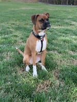 Boxer Puppies for sale in Hickory, NC, USA. price: NA