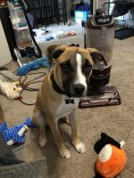 Boxer Puppies for sale in Corpus Christi, TX, USA. price: NA