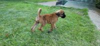 Boxer Puppies for sale in 1518 Greentree Rd, Pittsburgh, PA 15220, USA. price: NA