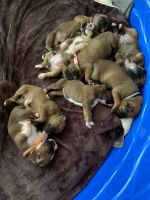 Boxer Puppies for sale in Cartersville, GA, USA. price: NA