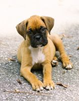 Boxer Puppies for sale in Abbeville, SC 29620, USA. price: NA