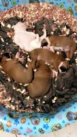 Boxer Puppies for sale in Kansas City, MO, USA. price: NA