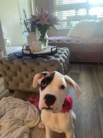 Boxer Puppies for sale in Anaheim, CA, USA. price: NA