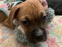 Boxer Puppies for sale in El Cajon, CA 92020, USA. price: NA
