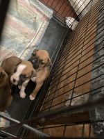 Boxer Puppies for sale in Rising Star, TX 76471, USA. price: NA