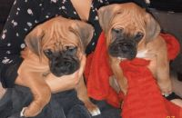 Boxer Puppies for sale in Buford, GA, USA. price: NA