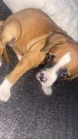 Boxer Puppies for sale in Escondido, CA 92026, USA. price: NA