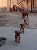 Boxer Puppies for sale in Hanford, CA 93230, USA. price: NA