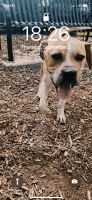 Boxer Puppies for sale in Greenville, SC, USA. price: NA