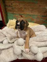Boxer Puppies for sale in Gadsden, AL, USA. price: NA