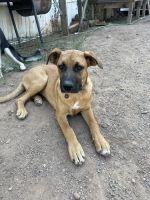 Boxer Puppies for sale in Albuquerque, NM, USA. price: NA