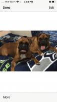 Boxer Puppies for sale in Tonasket, WA 98855, USA. price: NA