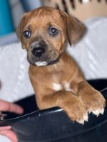 Boxer Puppies for sale in Winter Springs, FL 32708, USA. price: NA