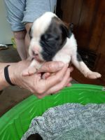 Boxer Puppies for sale in Laurel, IN, USA. price: NA