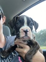 Boxer Puppies for sale in Quinlan, TX 75474, USA. price: NA