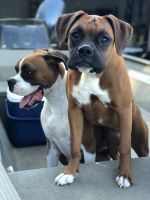 Boxer Puppies for sale in St. Augustine, FL, USA. price: NA