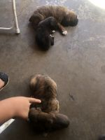 Boxer Puppies for sale in Lynwood, CA 90262, USA. price: NA
