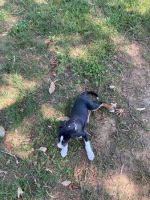 Boxer Puppies for sale in Charlotte, NC 28213, USA. price: NA