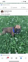 Boxer Puppies for sale in Ramsey, IL 62080, USA. price: NA