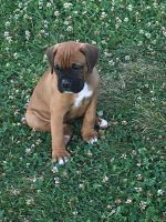 Boxer Puppies for sale in Cocolamus, PA, USA. price: NA