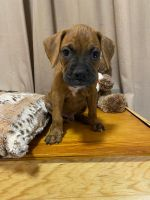 Boxer Puppies for sale in El Paso, TX, USA. price: NA