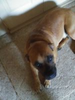 Boxer Puppies for sale in Rutherfordton, NC, USA. price: NA