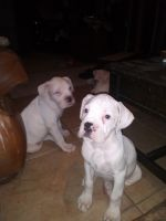 Boxer Puppies for sale in State Hwy 288, Manvel, TX, USA. price: NA