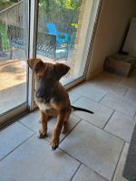 Boxer Puppies for sale in Dallas, TX, USA. price: NA