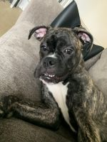 Boxer Puppies for sale in New York, NY, USA. price: NA