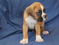 Boxer Puppies for sale in 9840 Fondren Rd, Houston, TX 77071, USA. price: NA