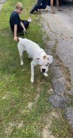 Boxer Puppies for sale in Farmington, ME, USA. price: NA