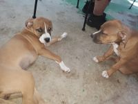 Boxer Puppies for sale in Lakewood, CO, USA. price: NA