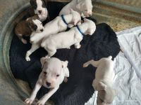 Boxer Puppies for sale in Magnolia, TX, USA. price: NA