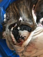 Boxer Puppies for sale in Damascus, OR 97089, USA. price: NA