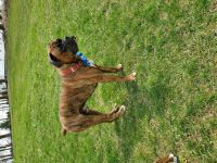 Boxer Puppies for sale in Brooklyn, MI 49230, USA. price: NA