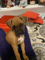Boxer Puppies for sale in Kerrville, TX 78028, USA. price: NA