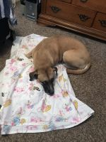 Boxer Puppies for sale in El Paso, TX 79924, USA. price: NA