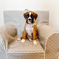 Boxer Puppies for sale in Los Angeles, CA 90001, USA. price: NA