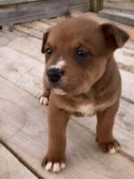 Boxer Puppies for sale in Harrodsburg, KY 40330, USA. price: NA