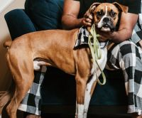 Boxer Puppies for sale in Frisco, TX, USA. price: NA