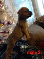 Boxer Puppies for sale in Gering, NE 69341, USA. price: NA