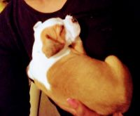 Boxer Puppies for sale in Hinesville, GA 31313, USA. price: NA