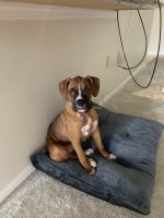Boxer Puppies for sale in West Palm Beach, FL 33409, USA. price: NA