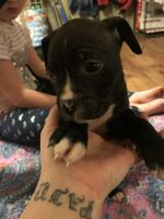 Boxer Puppies for sale in Marion, IN, USA. price: NA
