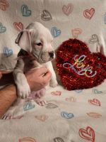 Boxer Puppies for sale in Orland Park, IL, USA. price: NA