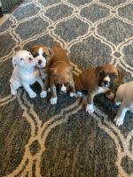 Boxer Puppies for sale in Tucson, AZ, USA. price: NA