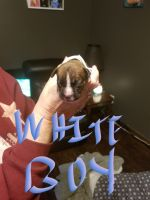 Boxer Puppies for sale in Linton, IN 47441, USA. price: NA